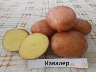 Получен патент и авторское свидетельство на новые сорта картофеля