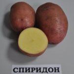 картофель Спиридон