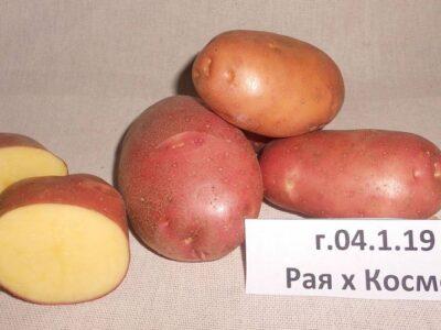 Уральские ученые вывели новый сорт картофеля