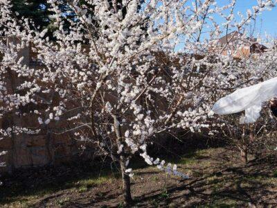 На Урале появился новый сорт зимостойкого абрикоса