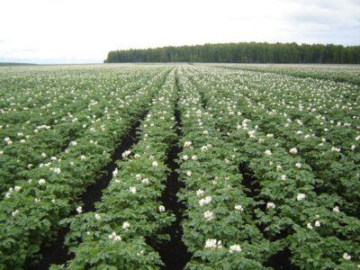 Практический семинар по изучению передового опыта выращивания картофеля 22 июля в ЮУНИИСК