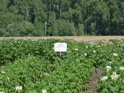 Смогут ли фермеры обеспечить регион картофелем?