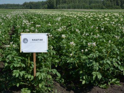 «Каштак» и «кавалер». Как развивается картофелеводство на Южном Урале